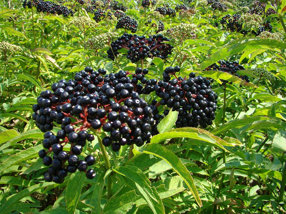 Purple Berries Bush