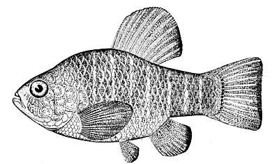 File:Sheepshead minnow.jpg