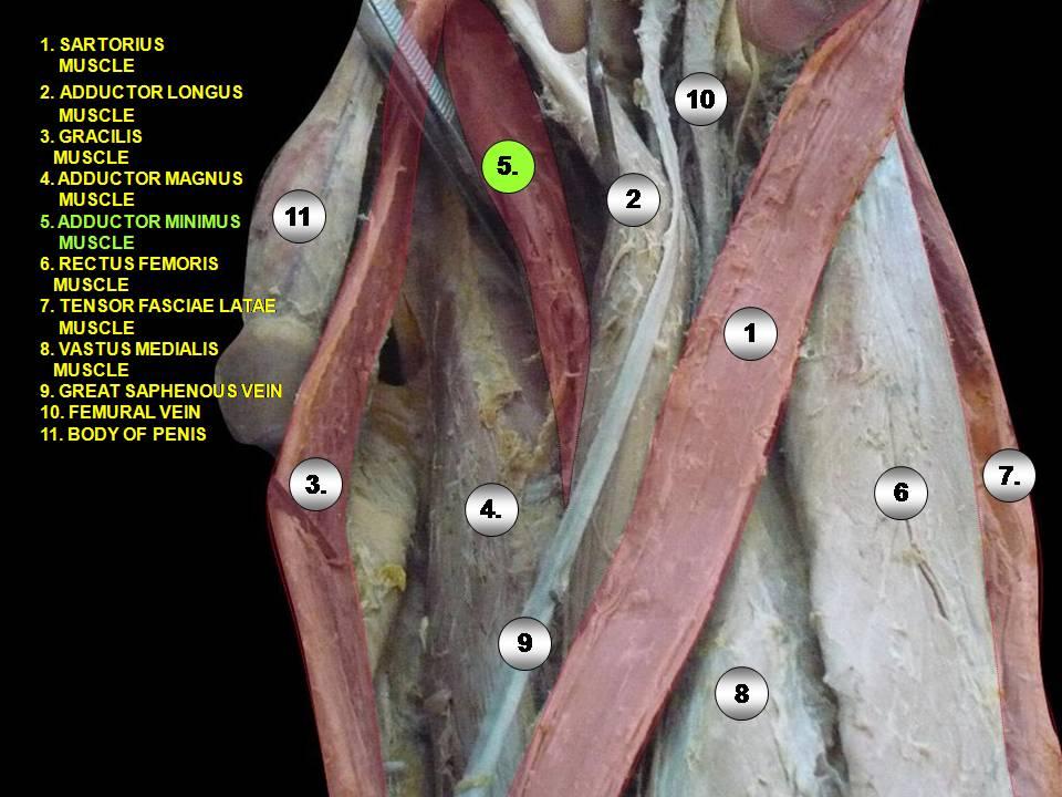 Adductor minimus muscle - Wikipedia