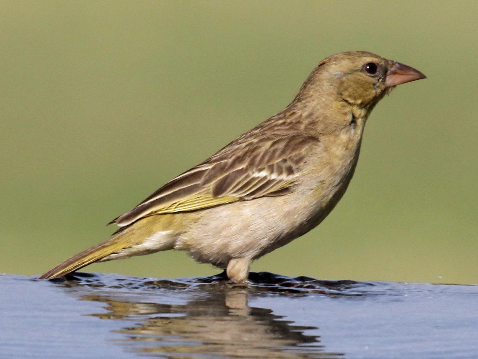 Southern Masked Weaver Ploceus Velatus Hotspot Birding