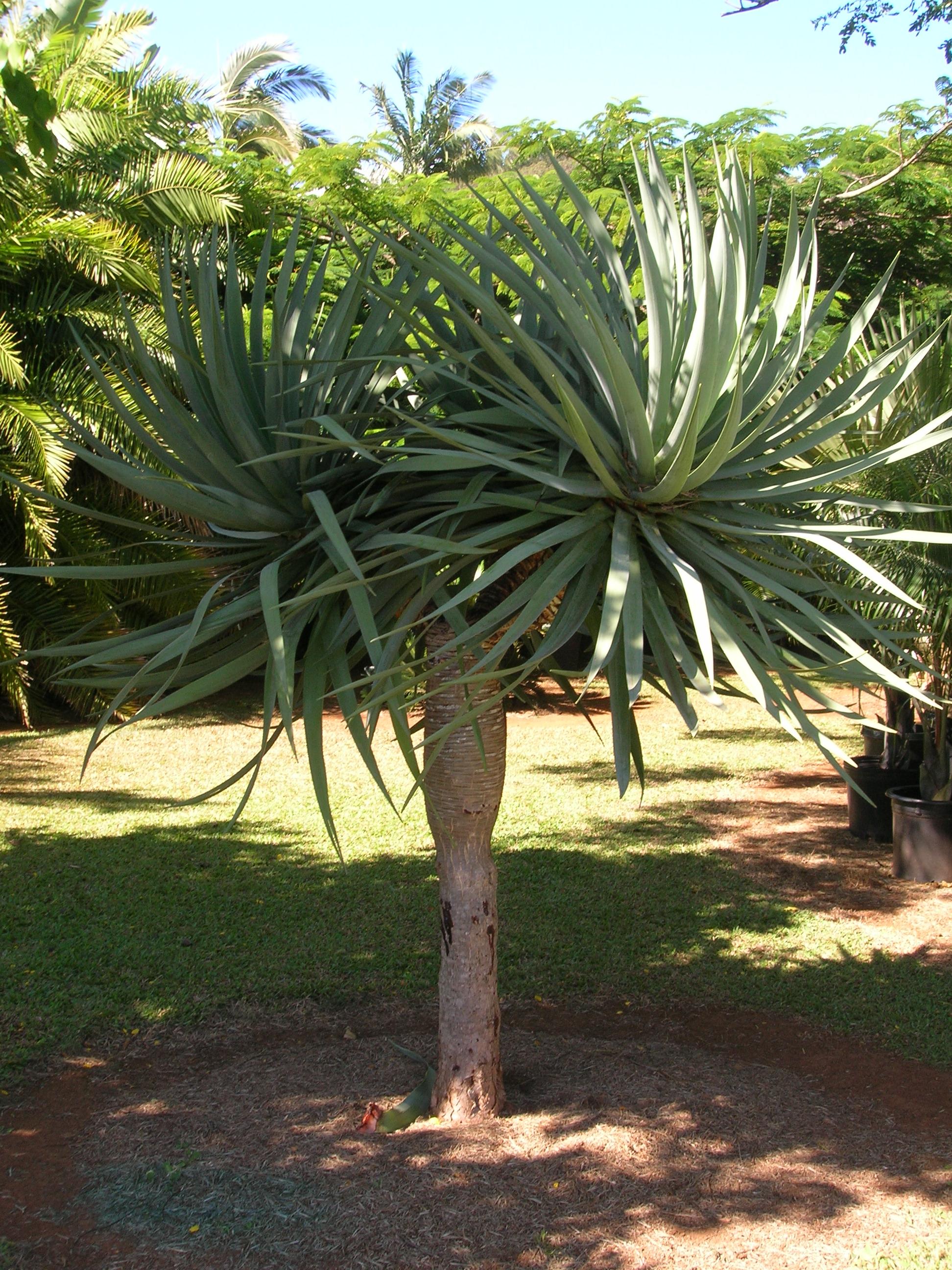 File starr 060905 8744 dracaena wikimedia commons for Cactus exterieur resistant au froid