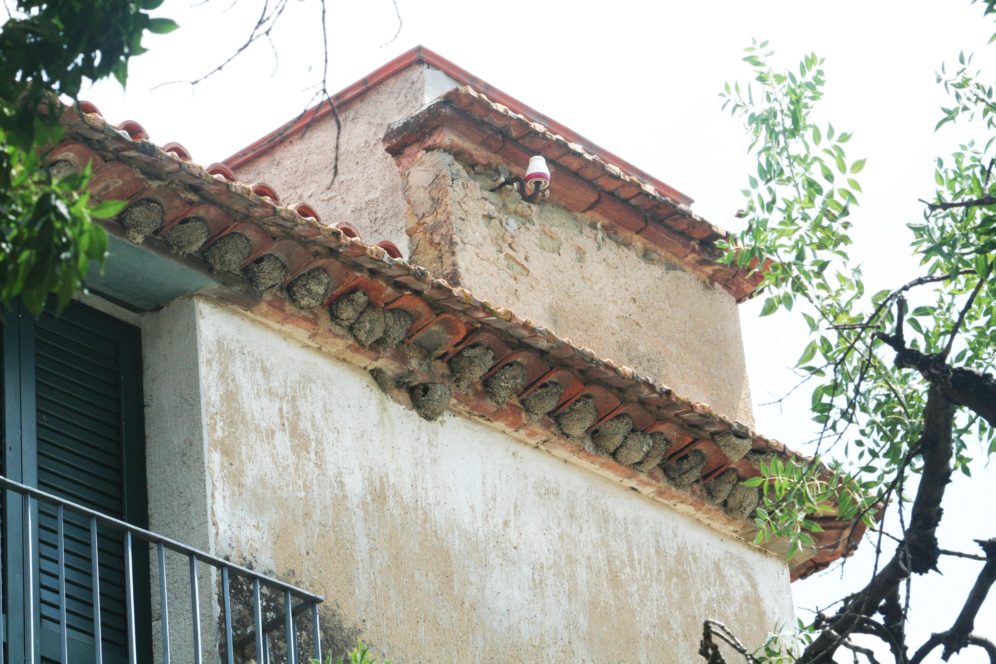 File:Swallow nests at Pisciotta - Italy.JPG - Wikimedia Commons
