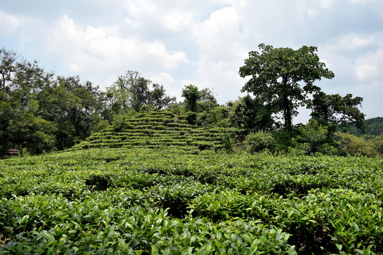 tea garden pictures assam