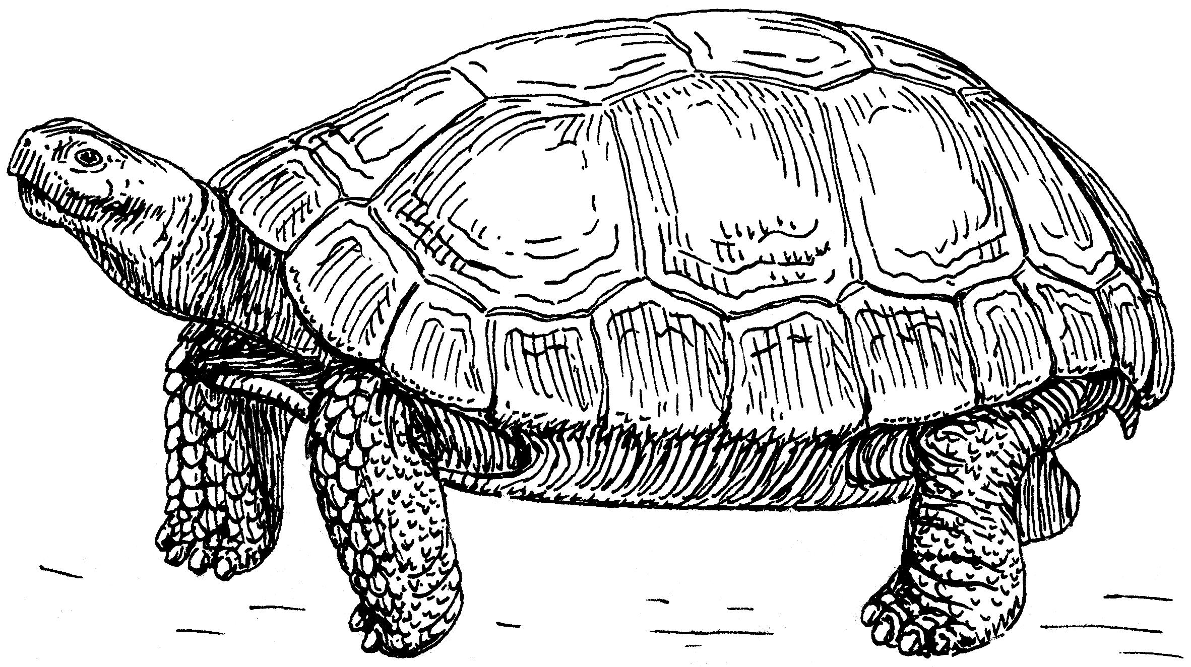 Line Drawing Of Desert Animals : File tortoise psf wikimedia commons