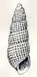 <i>Turbonilla hipolitensis</i> species of mollusc