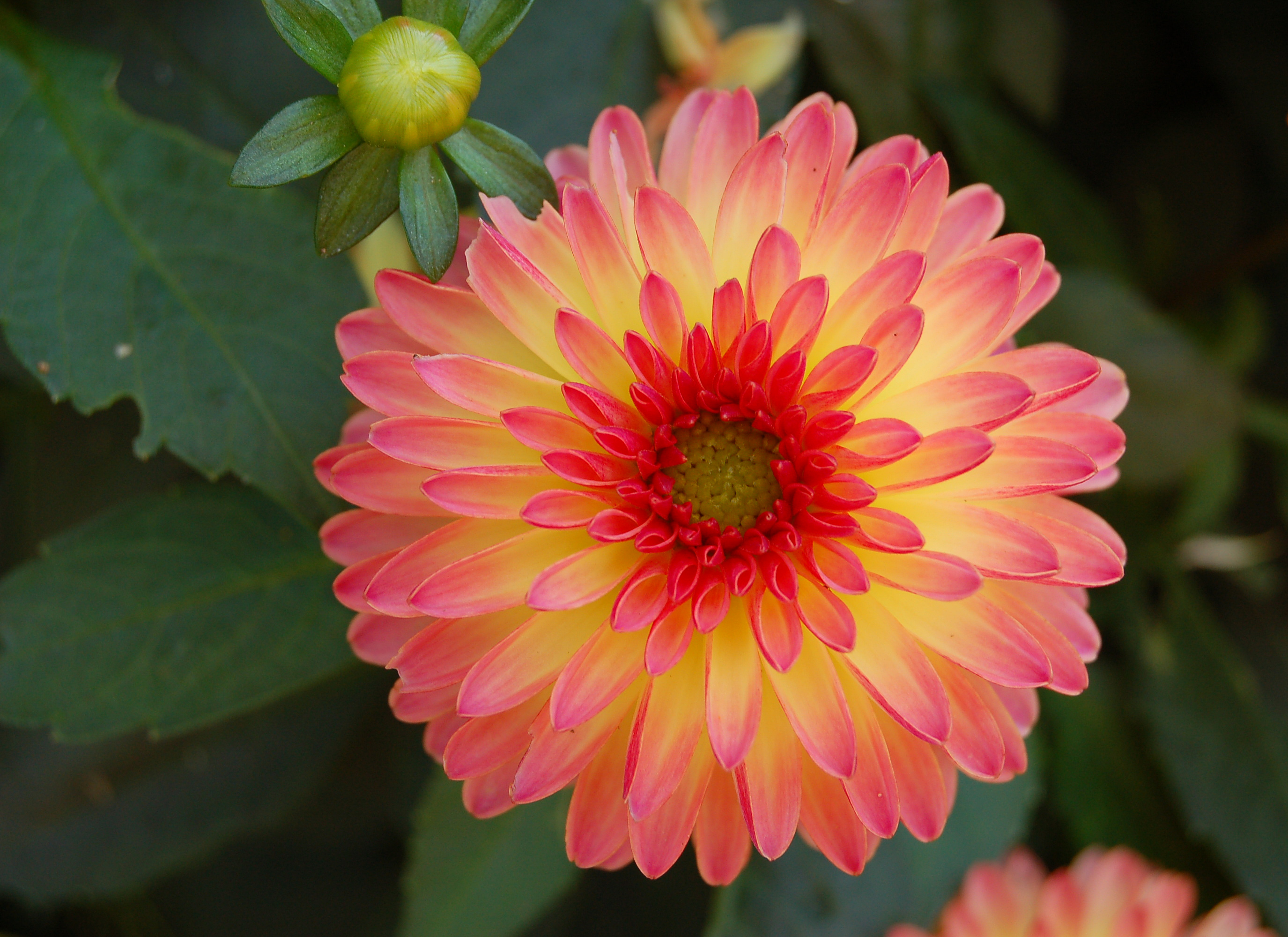 Spring Is Almost Here Dahlia Flower Beautiful Flowers Planting Bulbs In Spring