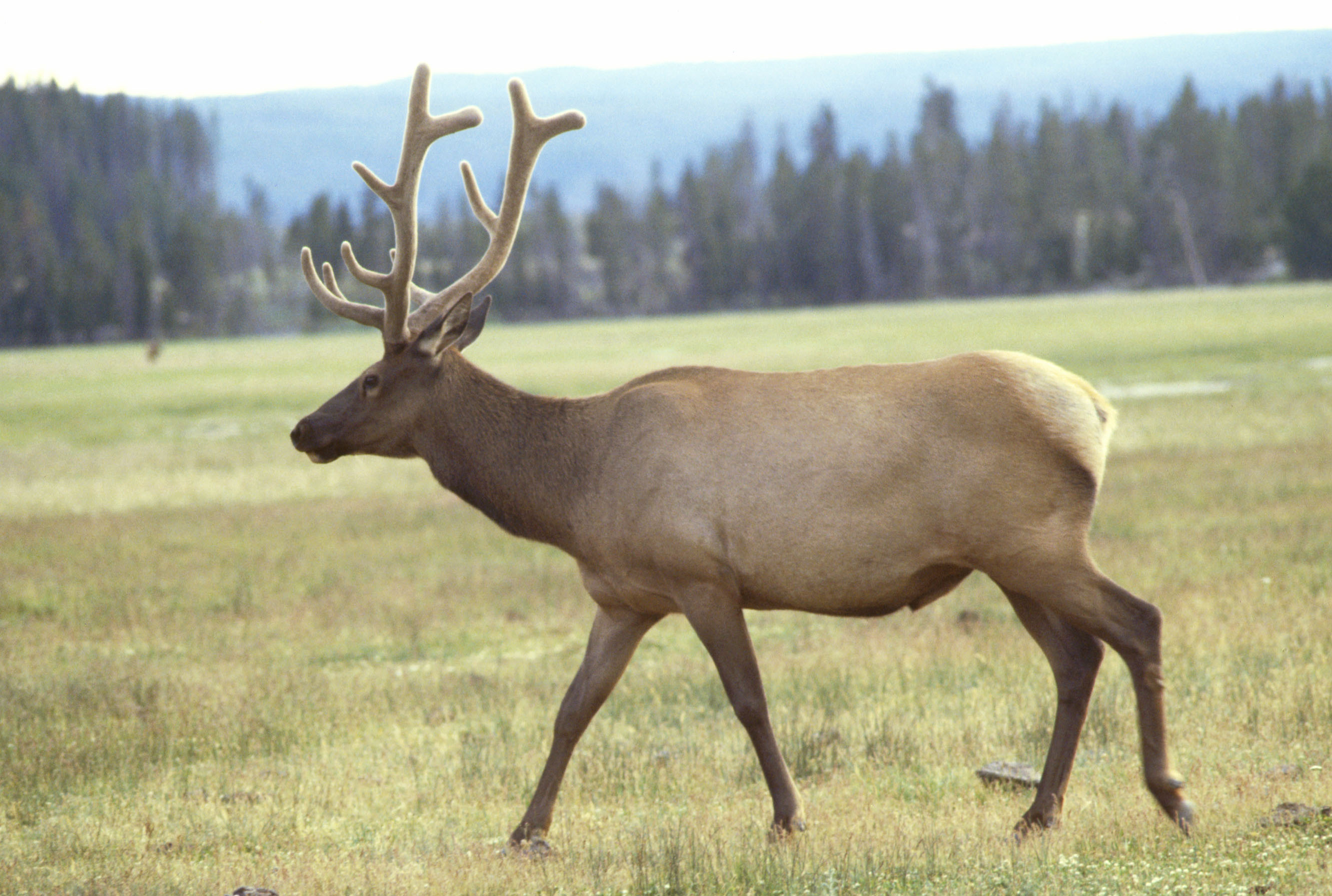 https://upload.wikimedia.org/wikipedia/commons/c/cd/Wapiti.jpg