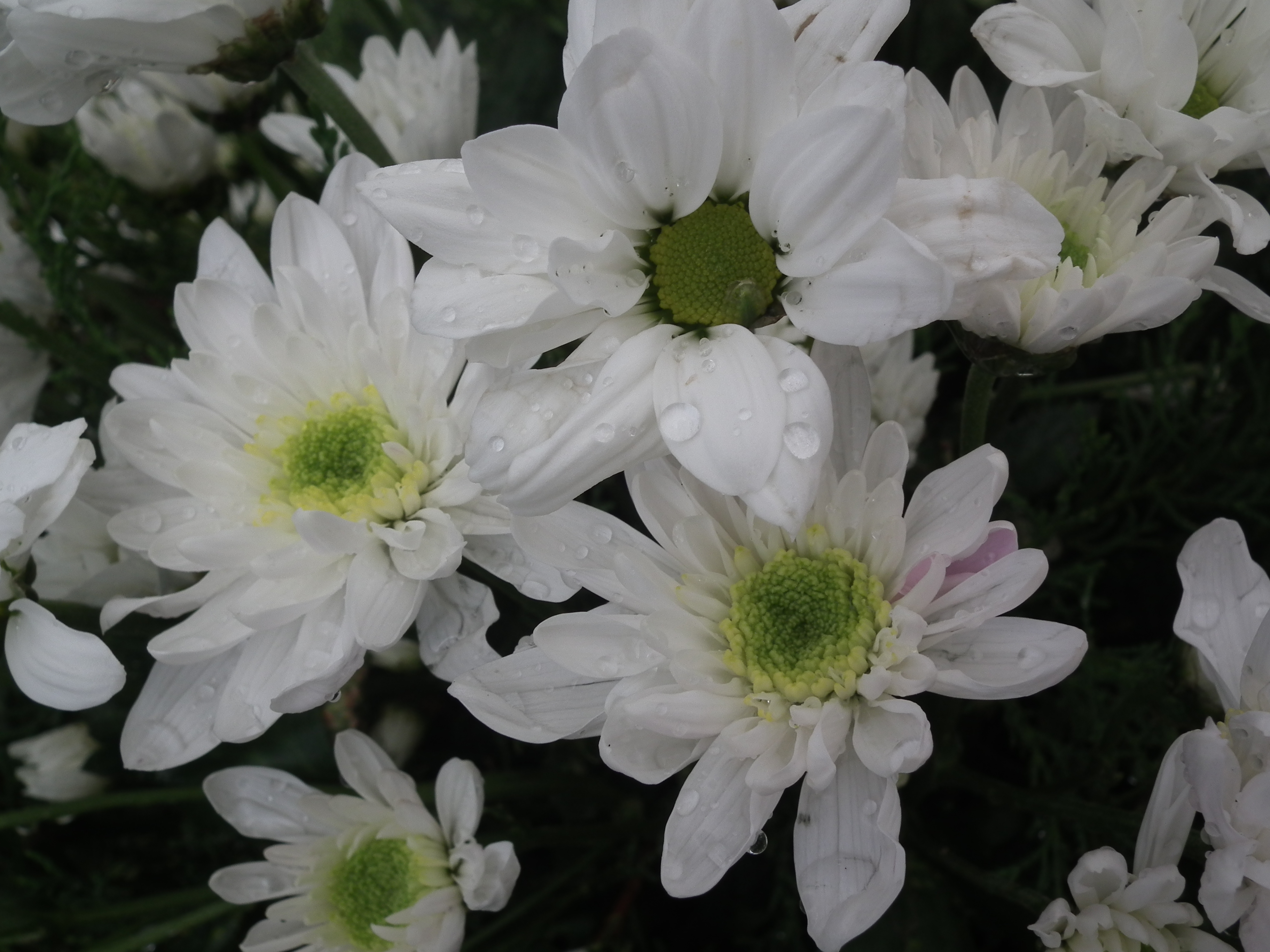 Filewhite Chrysanthemum From Lalbagh 1745g Wikimedia Commons