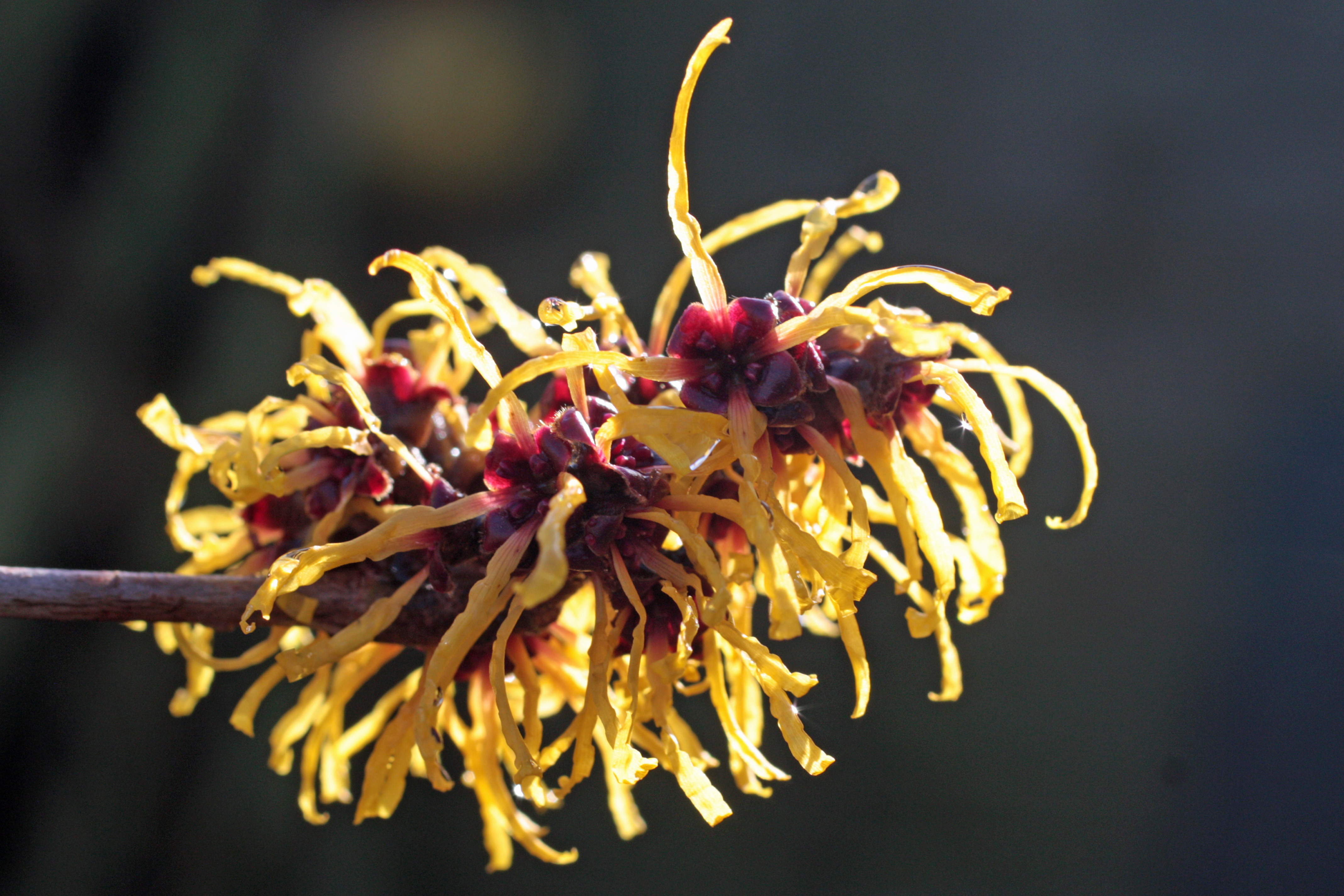 witch hazel flowers are favored by chinese for their strong fragrance With their similar common names and some similar characteristics, winter hazel and witch hazel can be easy to confuse here are the differences between these treasured shrubs that flower when little else is in bloom witch hazels grow between 10 and 20 feet tall and most have a vase shape with.