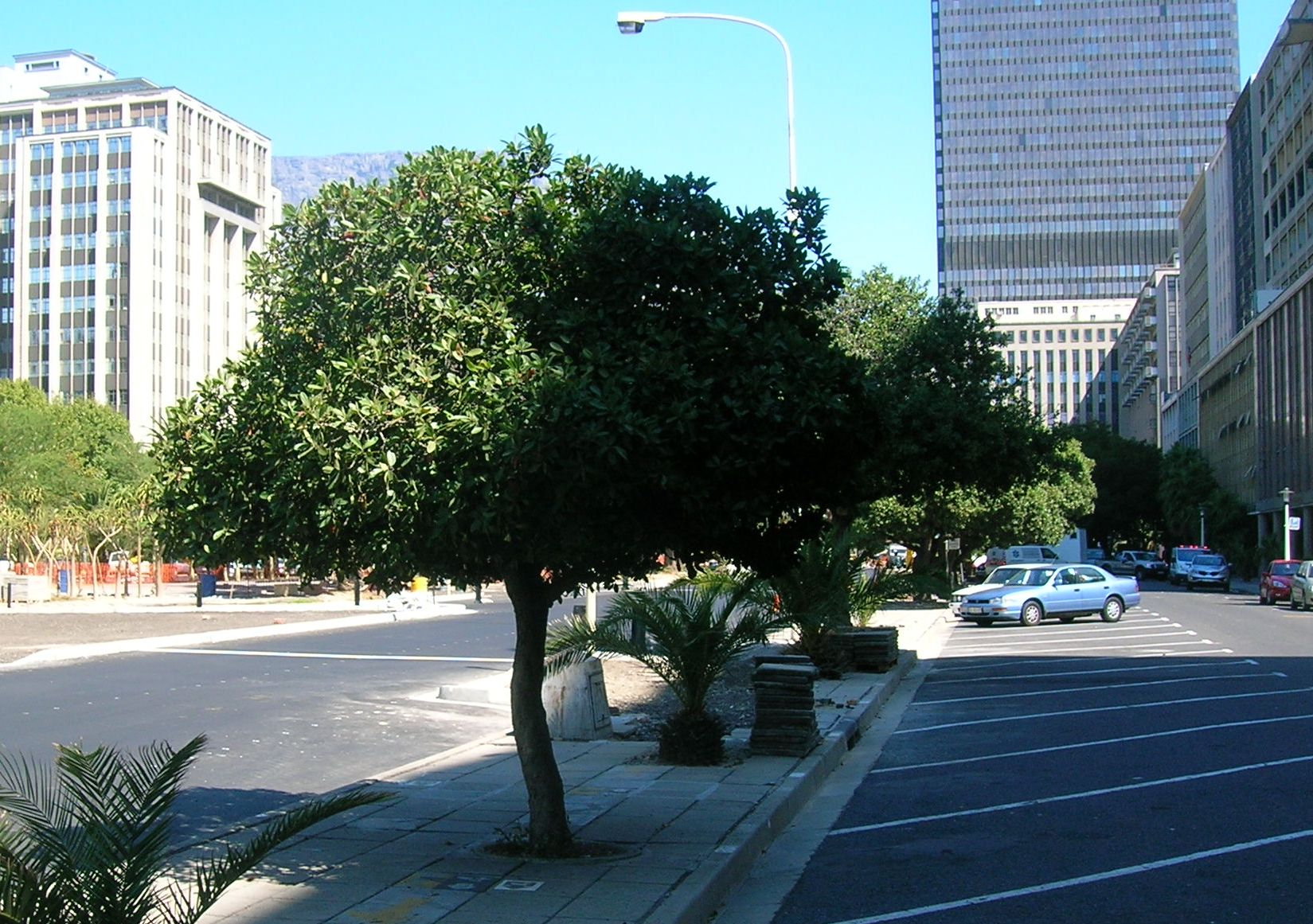 File:young milkwood trees in cape town city centre - sideroxylon