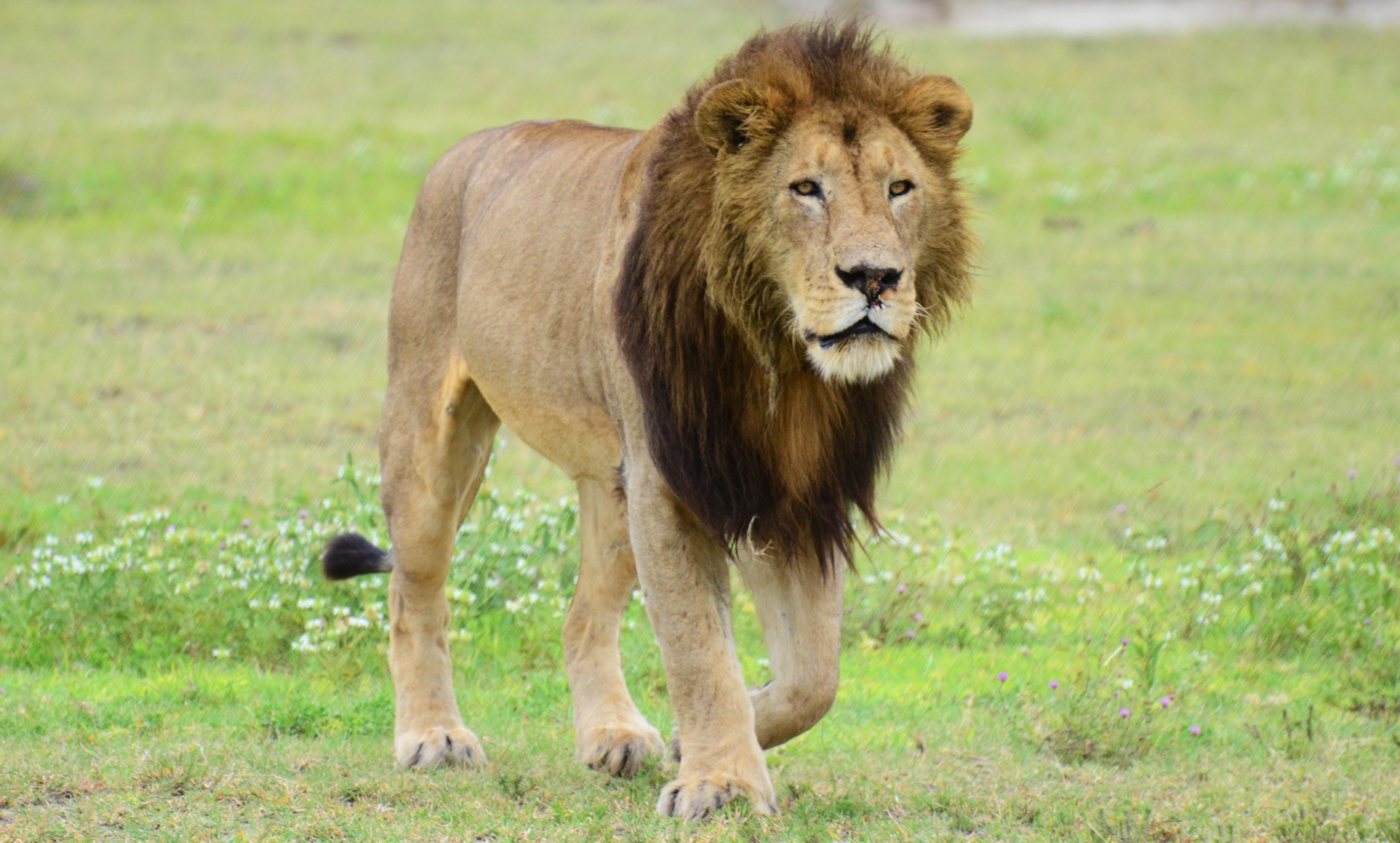 file a lion walking jpg wikimedia commons