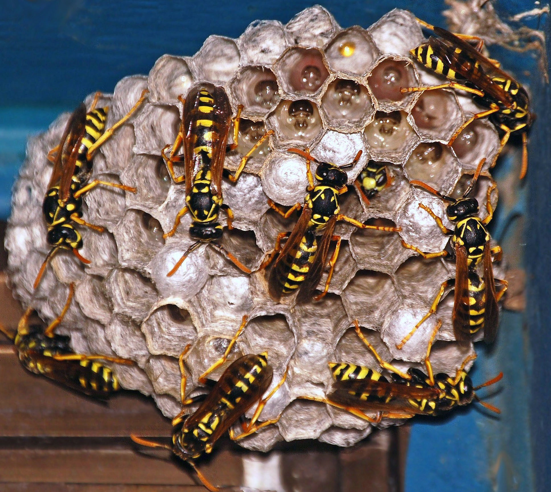 File:Active Wasp Nest(...