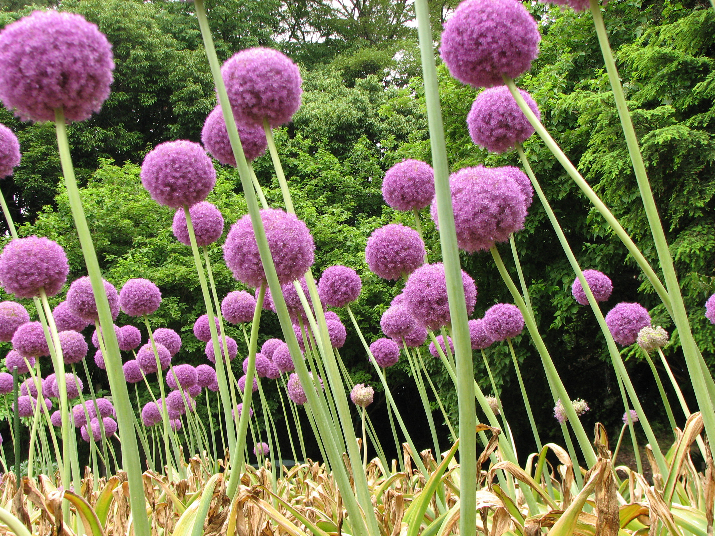 allium giganteum. Black Bedroom Furniture Sets. Home Design Ideas