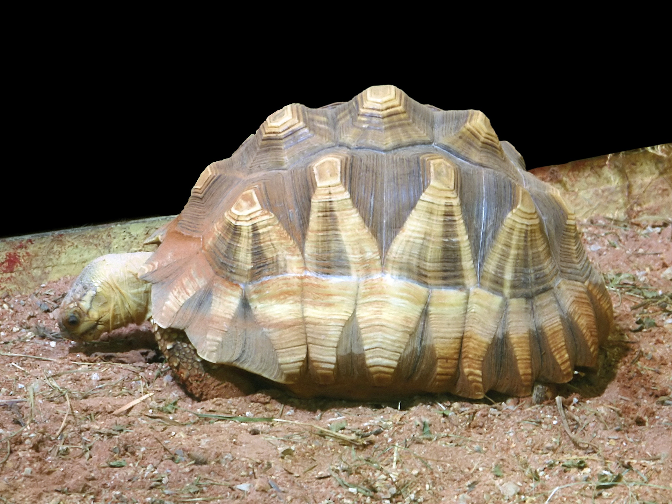 https://upload.wikimedia.org/wikipedia/commons/c/ce/Astrochelys_yniphora.jpg