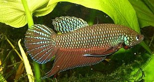 File:Betta smaragdina male1.jpg