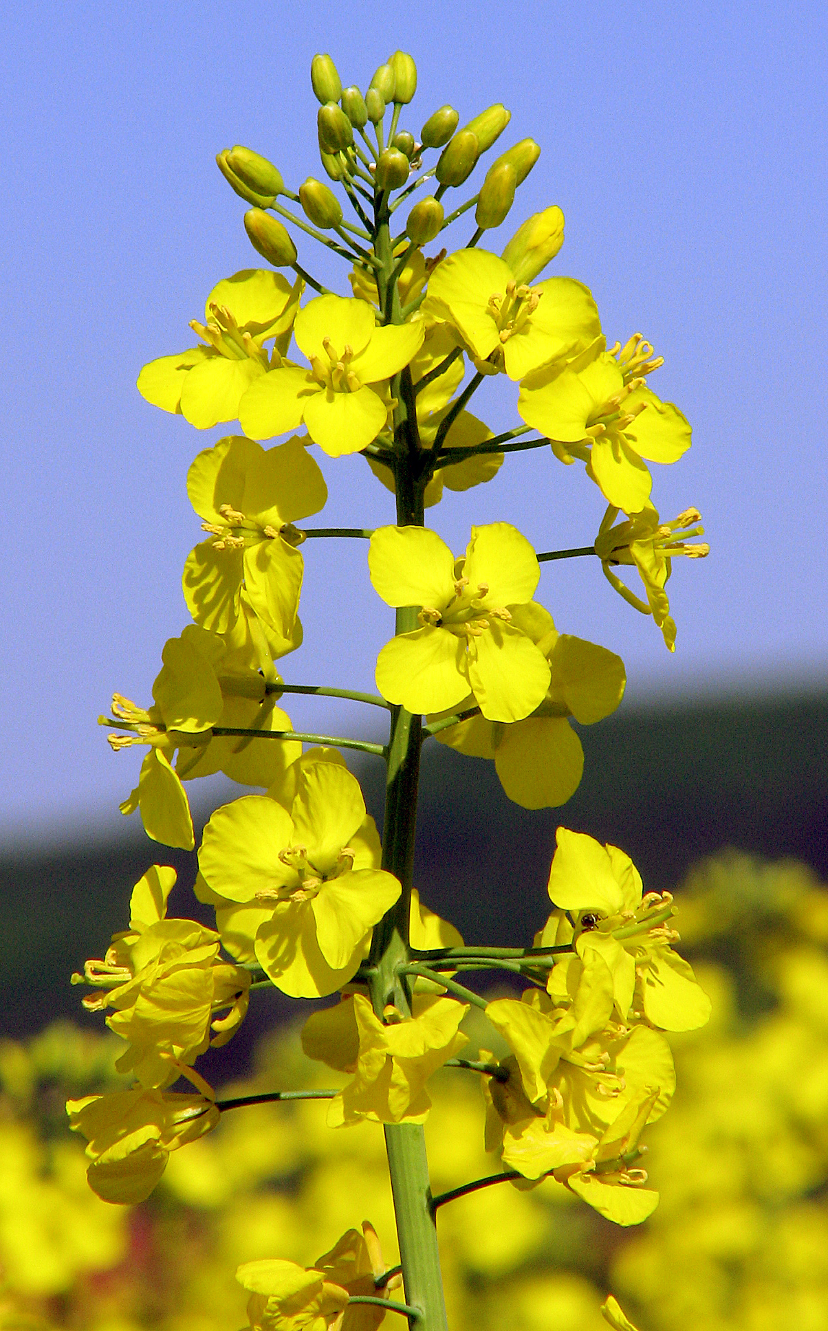 canola flower garden - photo #31