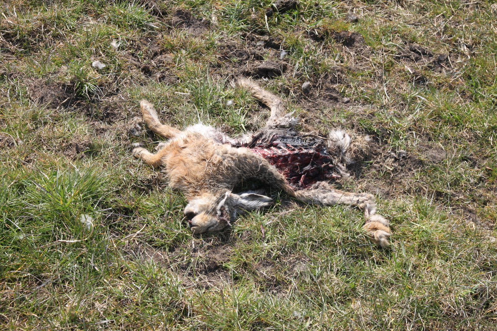 File Carcass Of Rabbit Jpg Wikimedia Commons