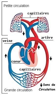 circulation sanguine pdf