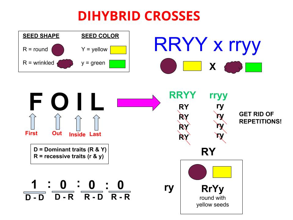 Dihybrid Cross Wikipedia