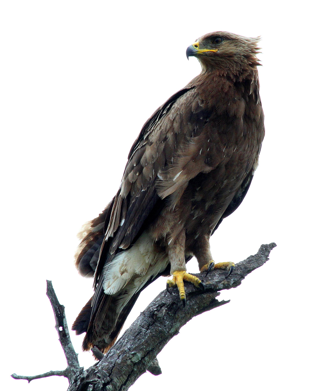 File:Eagle (8468144663).jpg - Wikimedia Commons