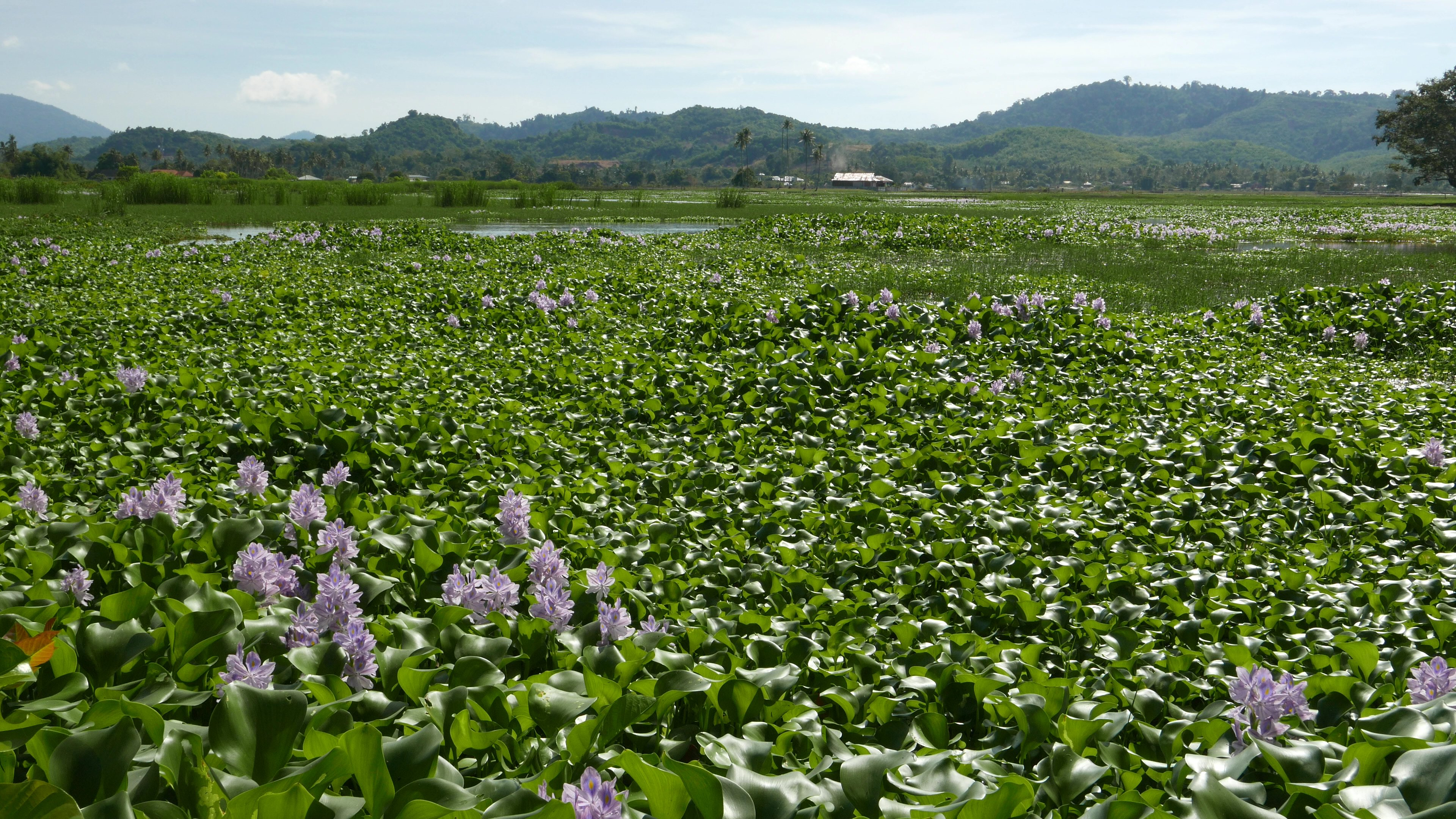 invasive plant triggers catastrophy in Uganda and Kenya Eichhornia_crassipes_field_at_Langkawi