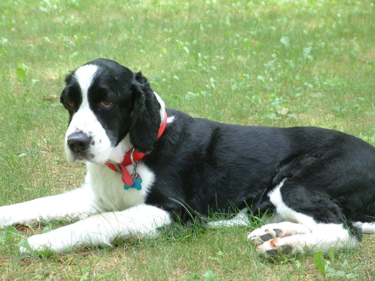 Description English Springer Spaniel black laying.jpg