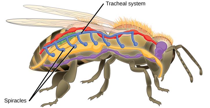 Öppningar i framför allt insektens bakkropp leder in till trakéerna.