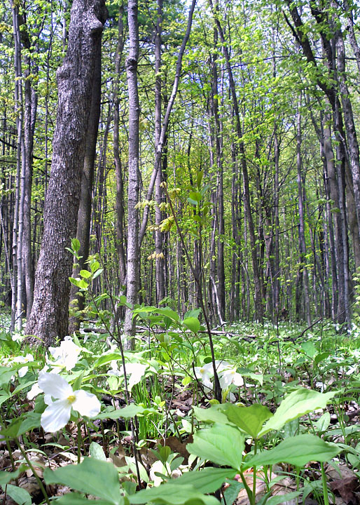 White trillium wiktionary for Forest floor definition