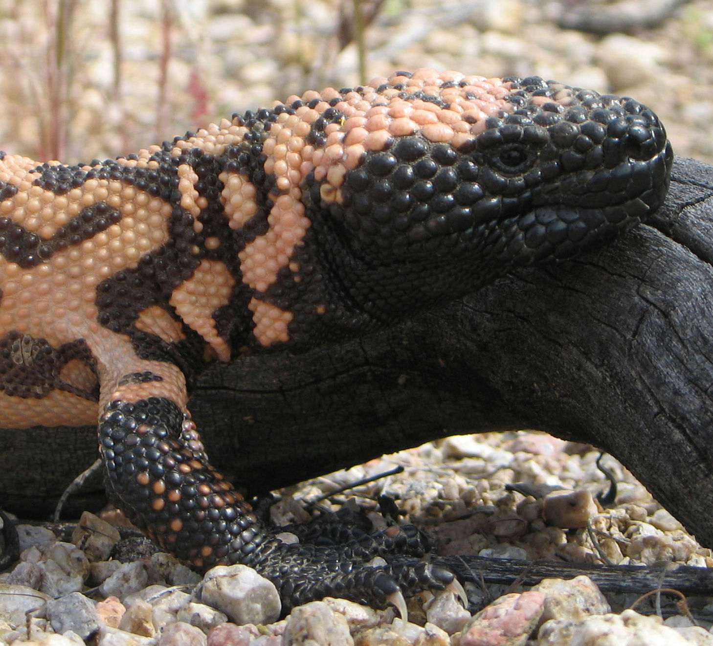 Description gila monster head