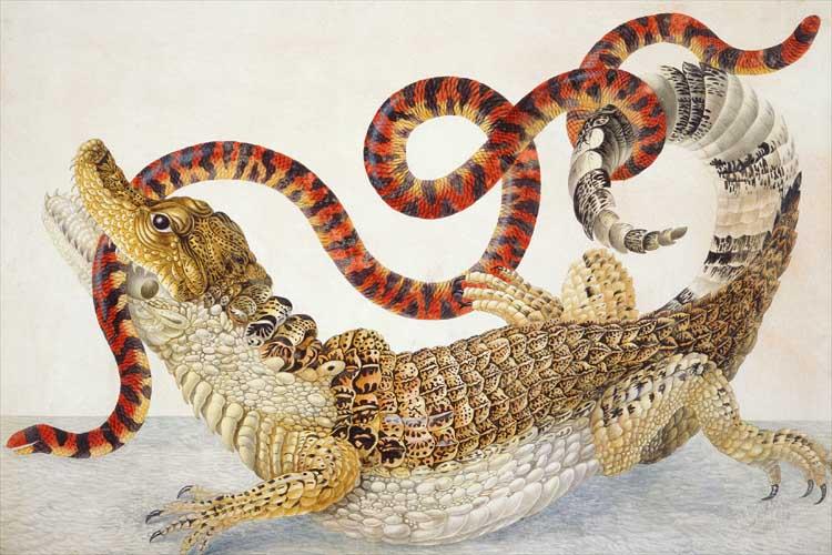 Ilustración de un crocodilus y un scytale Anilius (1701-1705) por Maria Sibylla Merian.jpg