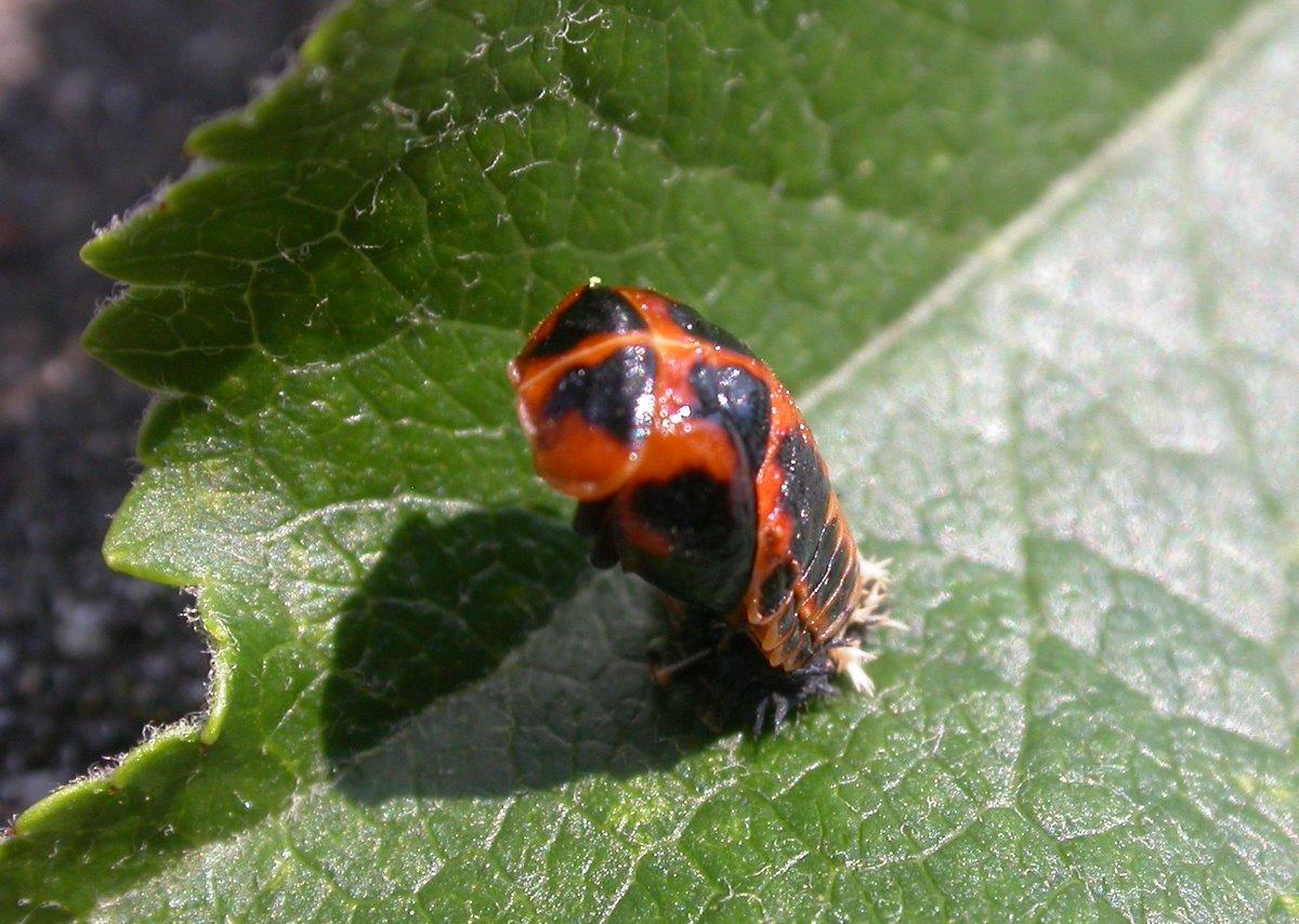 File larve wikimedia commons - Larve de coccinelle ...