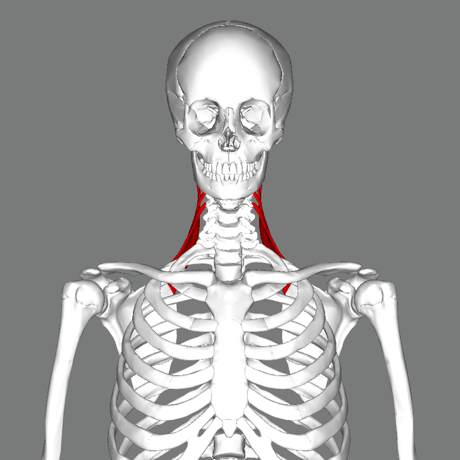 File:Levator scapulae muscle frontal.png - Wikimedia Commons