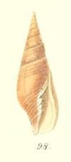 <i>Strigatella testacea</i> species of mollusc