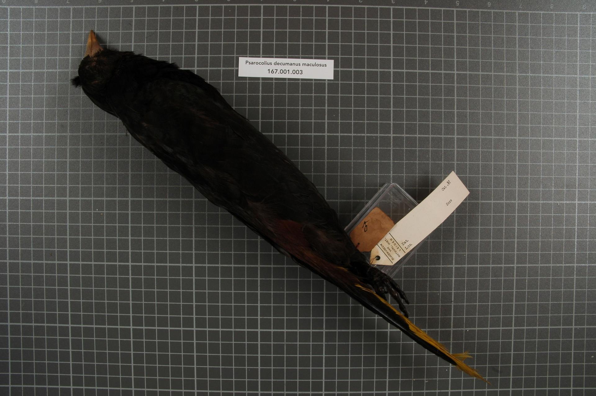 File:Naturalis Biodiversity Center - RMNH.AVES.153247 2 - Psarocolius  decumanus maculosus