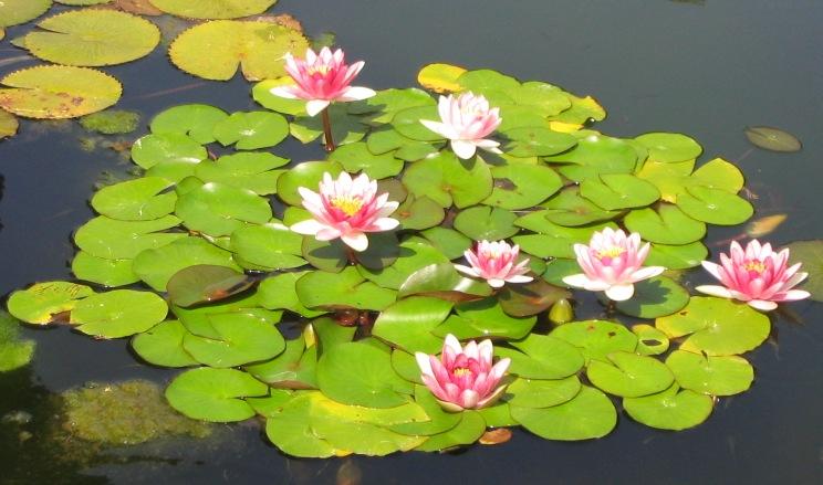 external image Nenufar-rosa.JPG