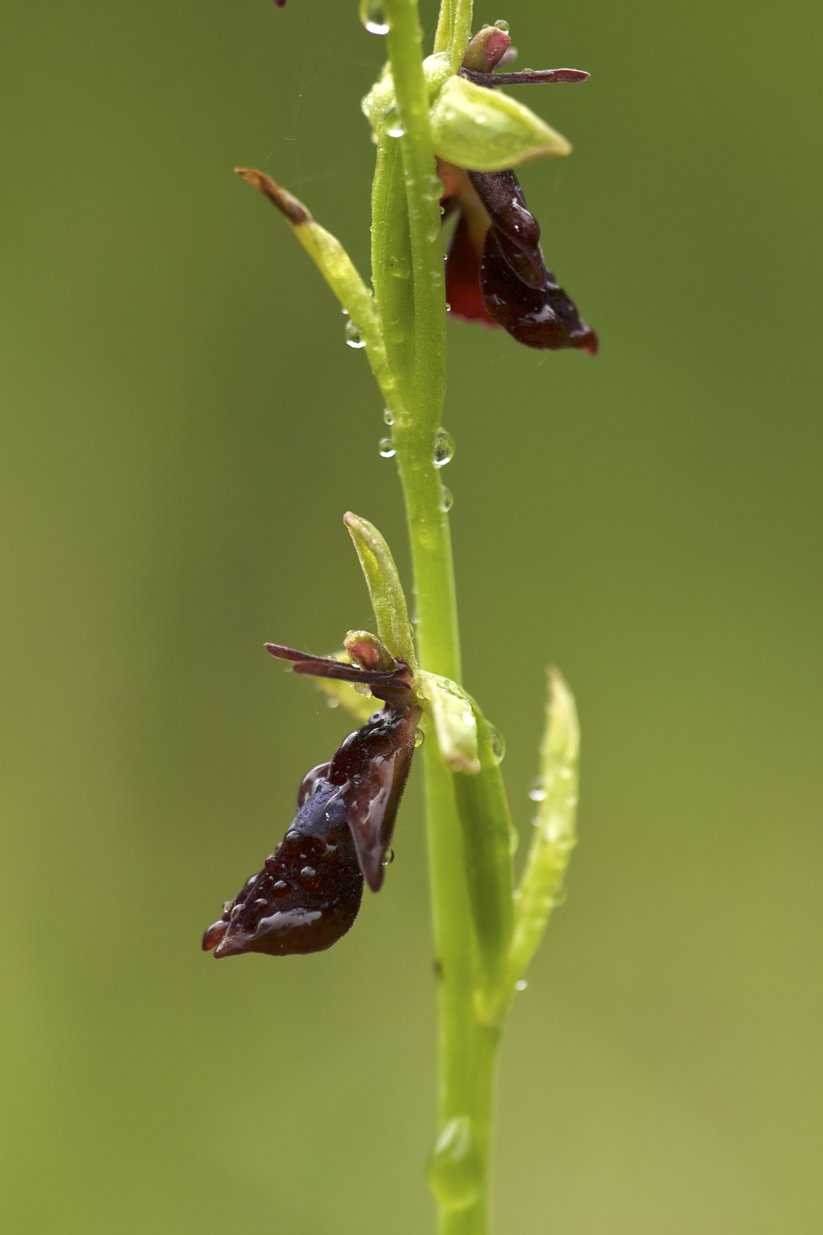 Fly orchid, photo by Jörg Hempel