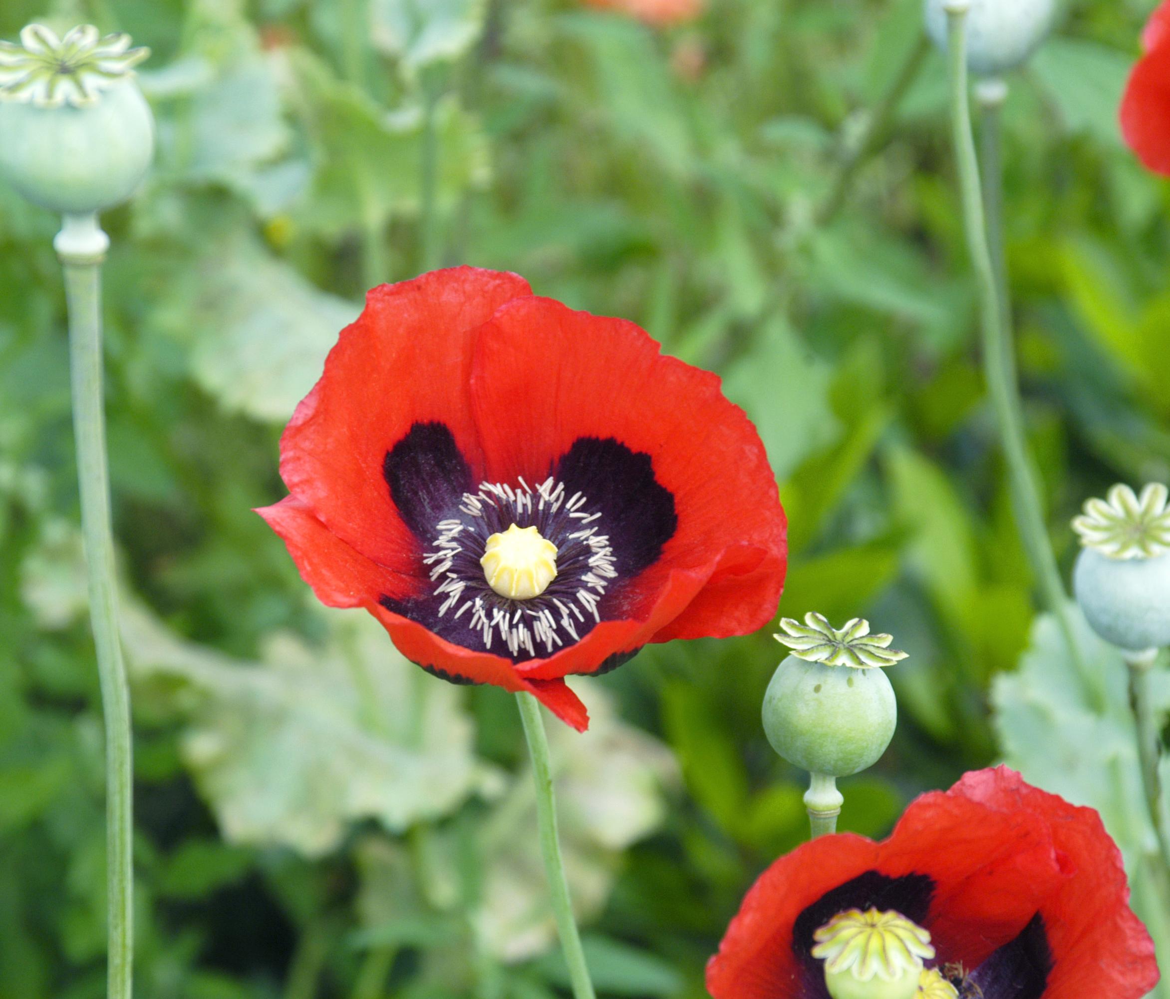 File Papaver somniferum flowers Wikimedia mons