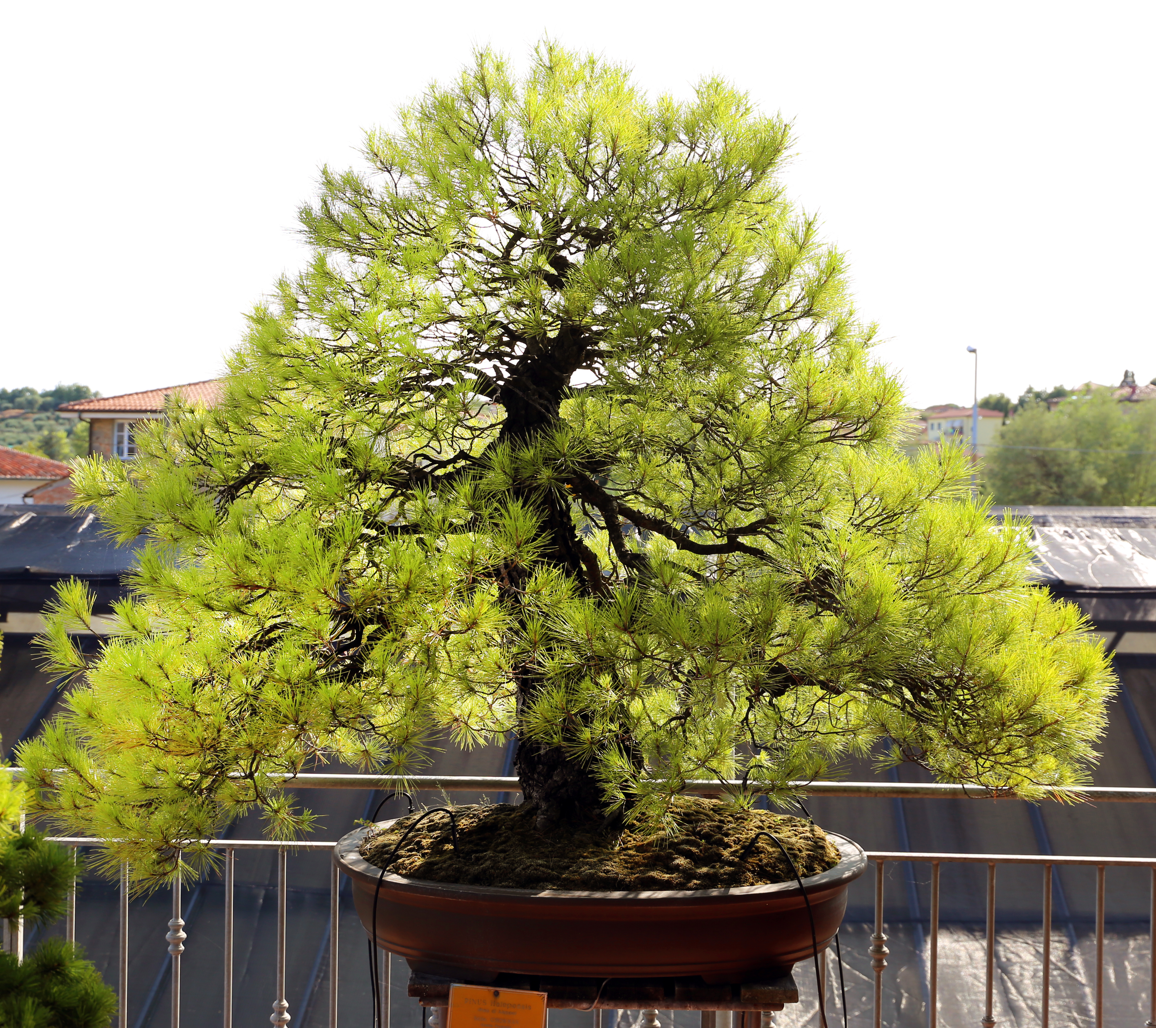 Bonsai Styles Wikipedia