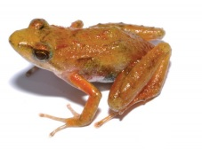 Phrynobatrachus bibita female