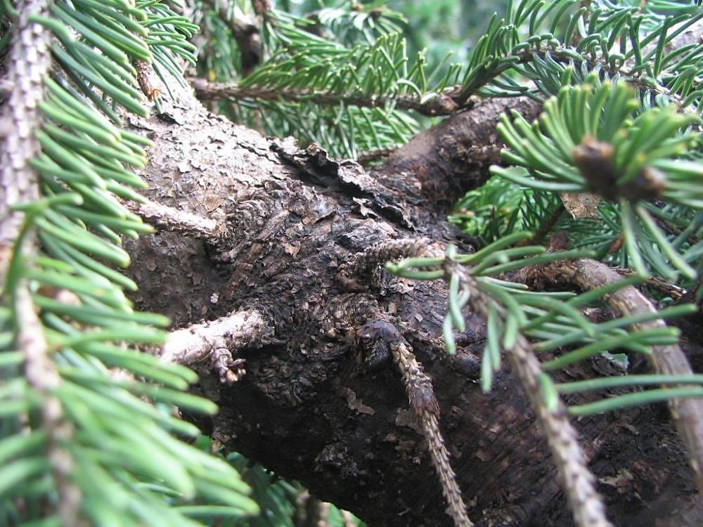 File:Picea abies cultivar, Merrifield Garden Center 2zz.jpg ...