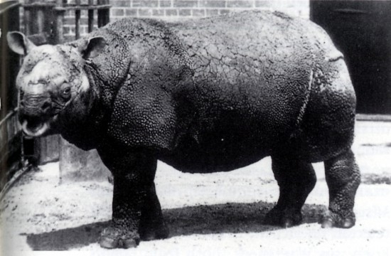 File:Rhinoceros sondaicus in London Zoo.jpg