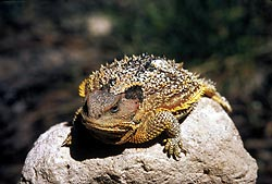 Short Horned Lizard.jpg