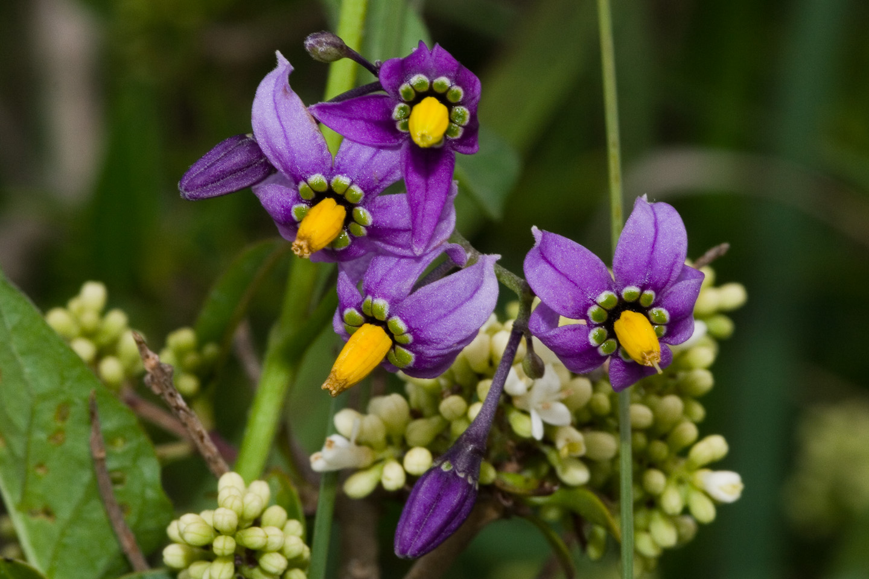 File Solanum dulcamara-01  xndr  jpg - Wikimedia Commons