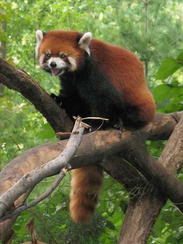 鳴くレッサーパンダ