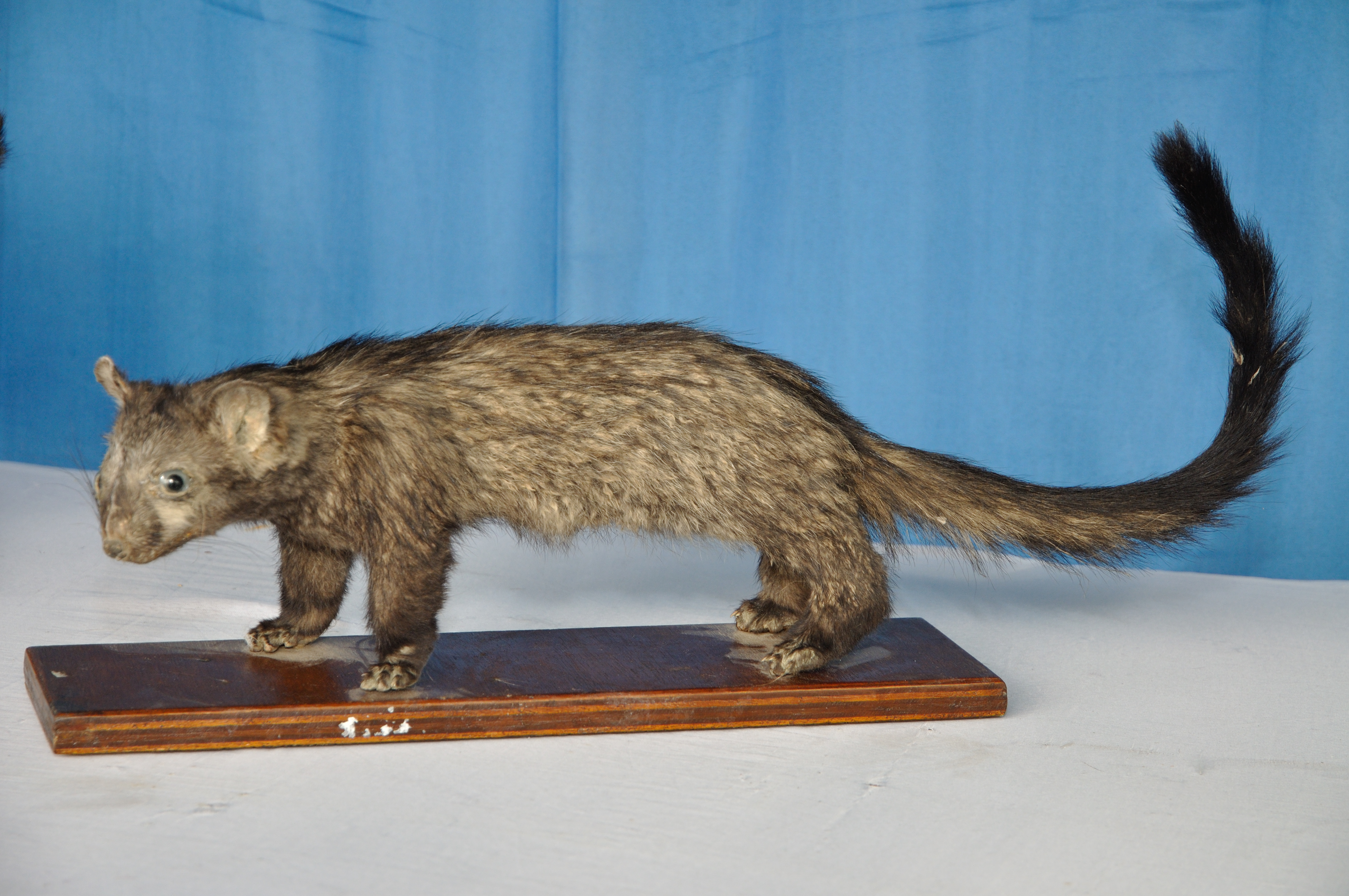 File Taxidermied Civet Cat Palta North 24 Parganas 2012 04 11 9580 Jpg Wikimedia Commons