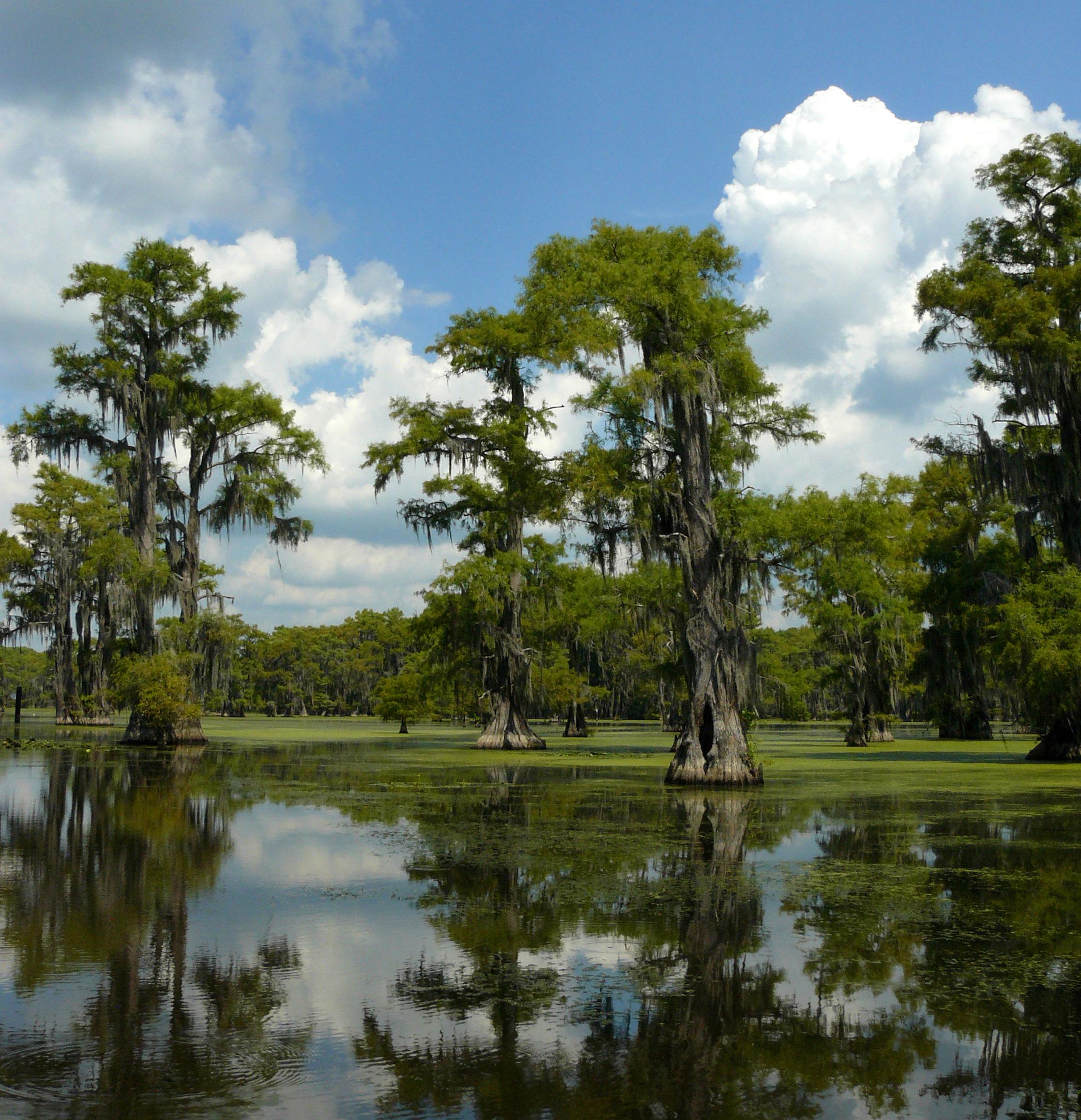 File:Taxodium distichum Caddo Lake TX 1.jpg - Wikimedia ...