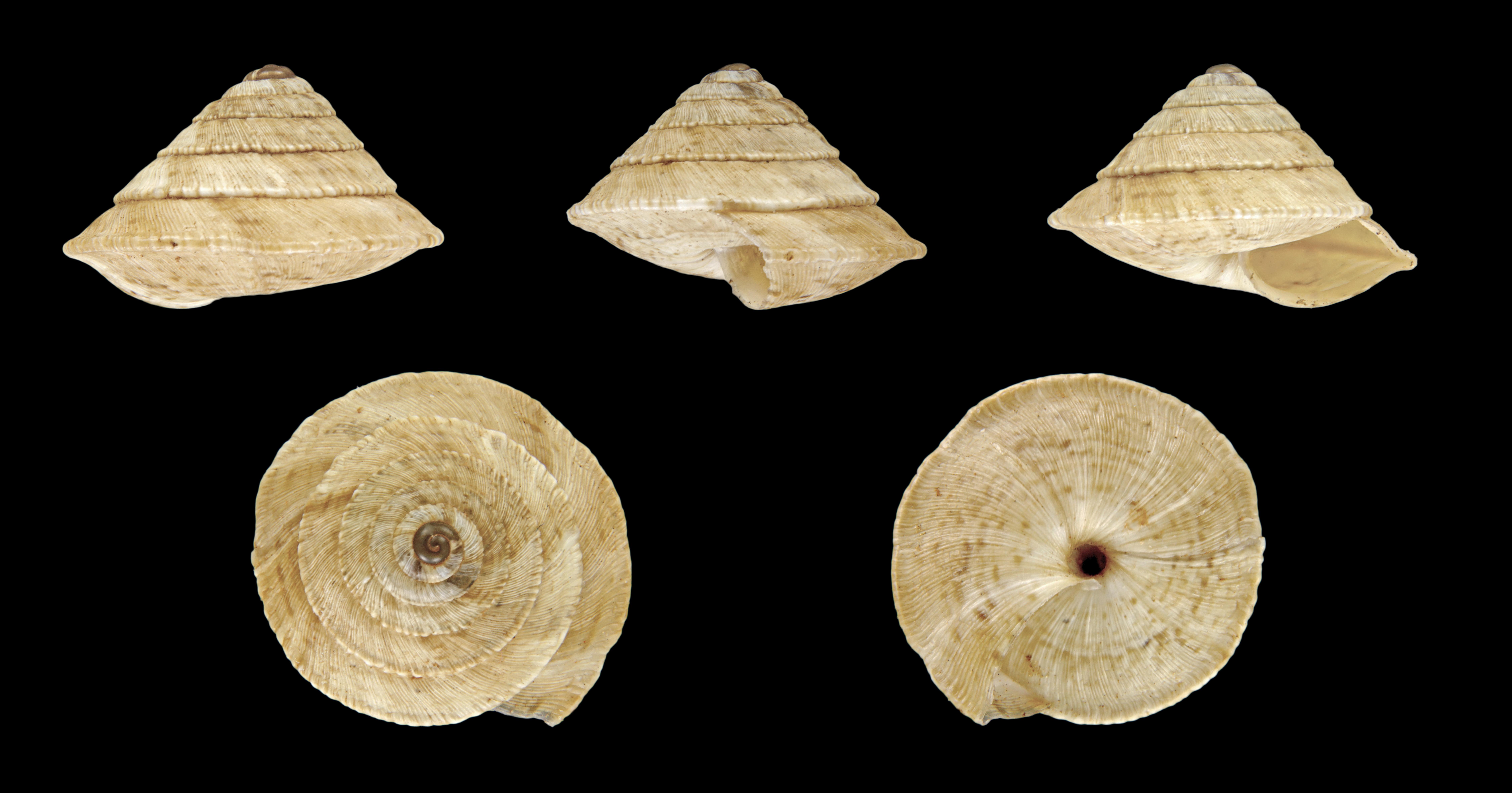 S. trochoidea
