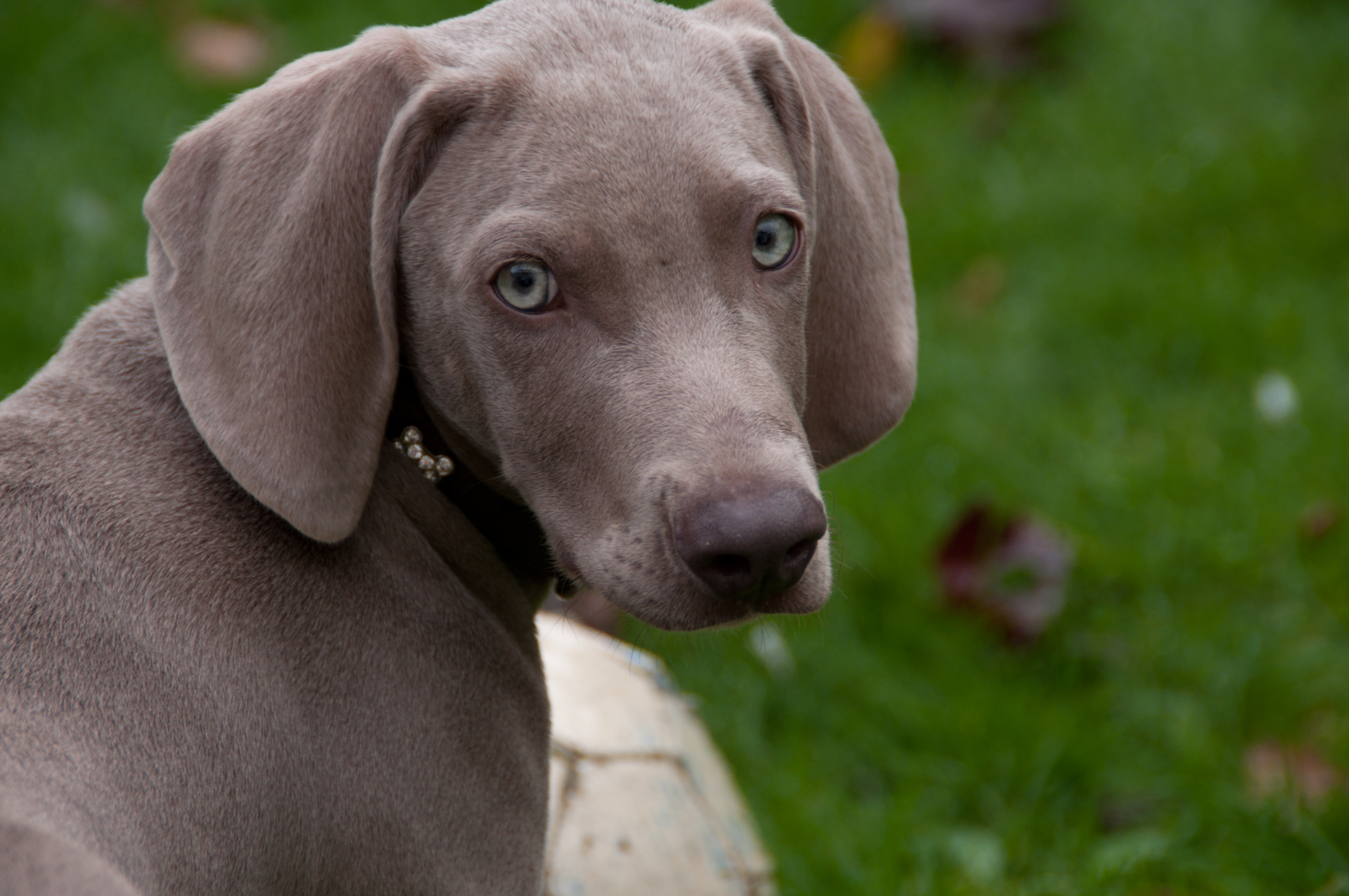 Is A Weimaraner A Large Breed Dog
