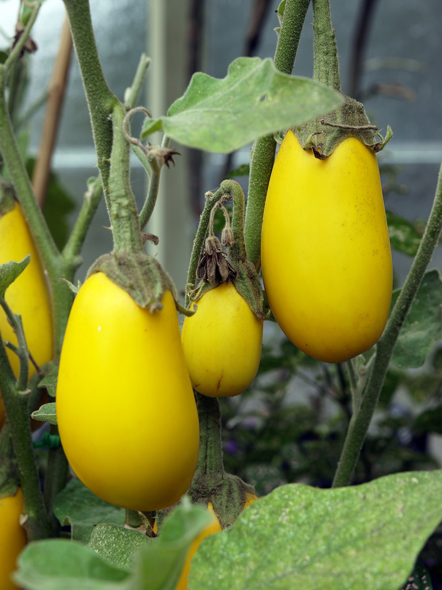 file yellow eggplant wintergarden auckland domain jpg