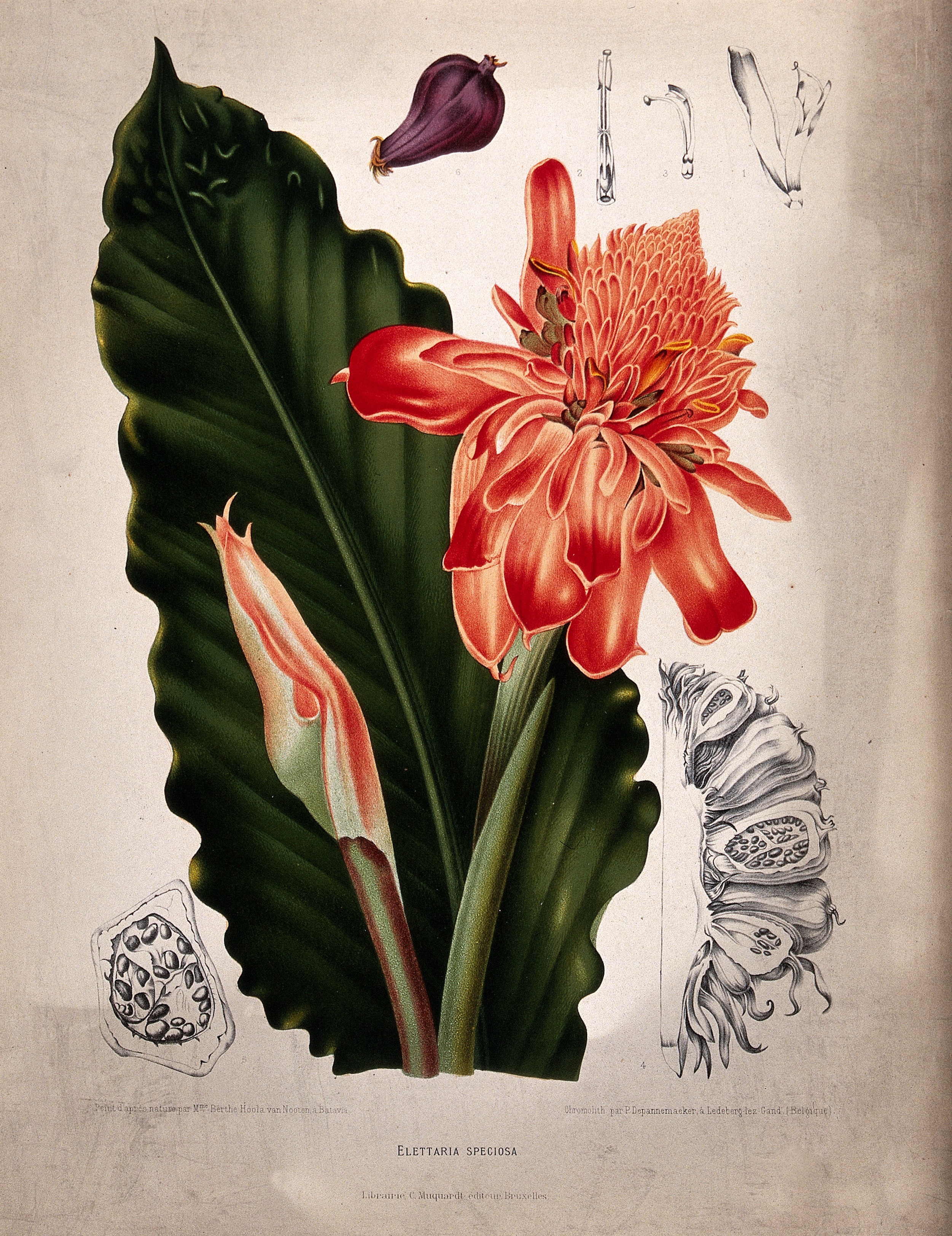 Datei:A plant (Elettaria speciosa Blume); flowering shoots with le ...